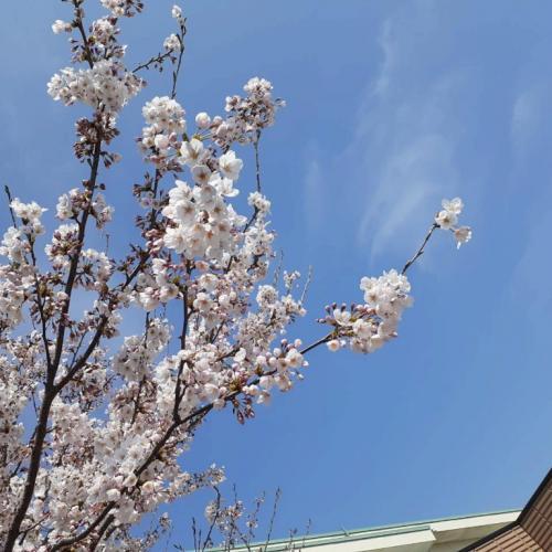 桜開花リレー 仙台