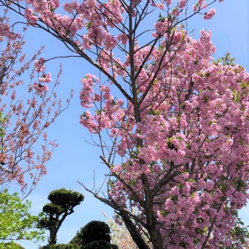 桜開花リレー 北海道②