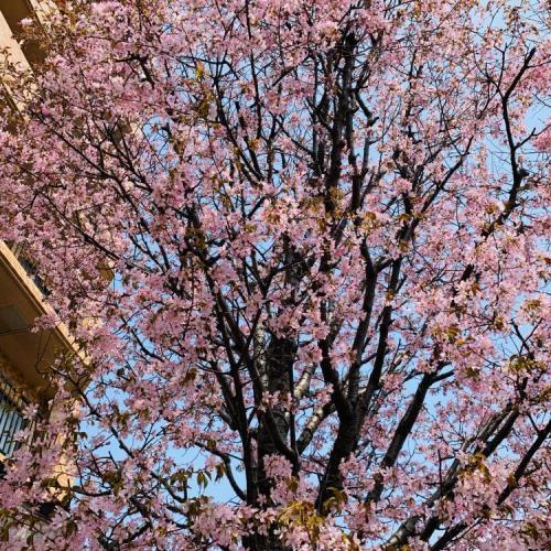 桜開花リレー 北海道①